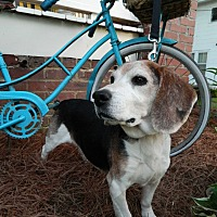 Beagle Dog for adoption in Charlotte, North Carolina - Henry