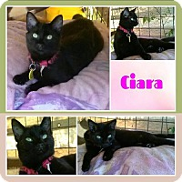 Domestic Shorthair Cat for adoption in Fort Worth, Texas - Ciara