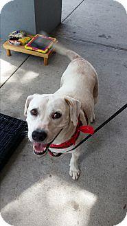 Labrador Retriever/Beagle Mix Dog for adoption in Seminole, Florida - Krypto