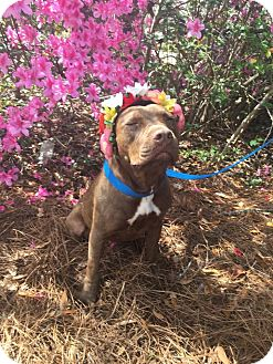 American Staffordshire Terrier/Boxer Mix Dog for adoption in Summerville, South Carolina - Nichole (Figgy)