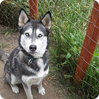 Siberian Husky Mix Dog for adoption in Pacific Grove, California - Nikki