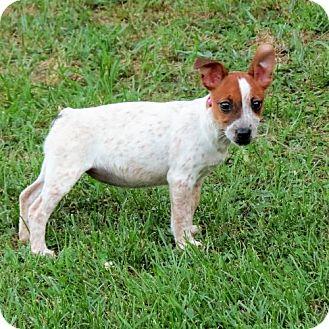 Cattle Dog/Feist Mix Puppy for adoption in Salem, New Hampshire - PUPPY BOCA