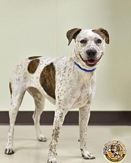 Catahoula Leopard Dog/Pointer Mix Dog for adoption in Mt. Vernon, Indiana - Molly