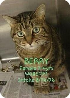 Domestic Mediumhair Cat for adoption in Fayetteville, West Virginia - Berry