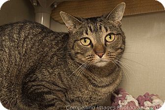 Domestic Shorthair Cat for adoption in Fort Collins, Colorado - Adriena