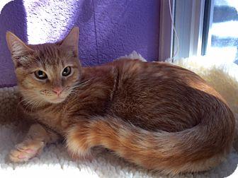 Domestic Shorthair Kitten for adoption in Colorado Springs, Colorado - Tok