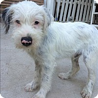 Adopt A Pet :: Robin - Encino, CA