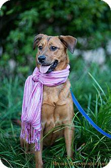 German Shepherd Dog/Labrador Retriever Mix Dog for adoption in West Orange, New Jersey - Schuyler