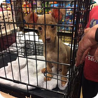Dachshund/Chihuahua Mix Puppy for adoption in Helotes, Texas - Mo