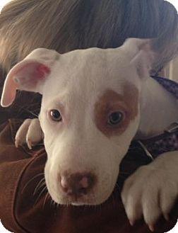 Pit Bull Terrier Mix Puppy for adoption in Belleville, Michigan - Darla