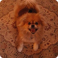 Adopt A Pet :: Leo - Inver Grove, MN
