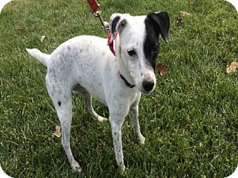 Jack Russell Terrier Mix Dog for adoption in Urbana, Illinois - CASEY