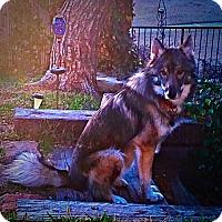Adopt A Pet :: Winston - McKinney, TX