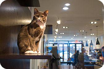 Domestic Shorthair Cat for adoption in New York, New York - Baz