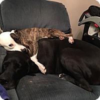 Adopt A Pet :: Pixie - Broken Arrow, OK