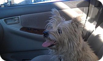 Cairn Terrier Mix Dog for adoption in Las Vegas, Nevada - Sandy