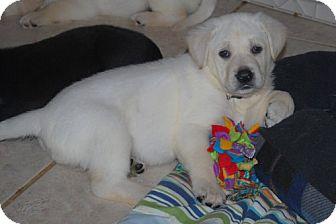 Labrador Retriever/German Shepherd Dog Mix Puppy for adoption in Minneola, Florida - Gracie