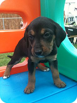 Hound (Unknown Type) Mix Puppy for adoption in Linton, Indiana - Damsel