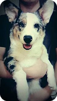 Welsh Corgi/Australian Shepherd Mix Puppy for adoption in Lomita, California - Corgi Aussie Blue Merle Fl Pup
