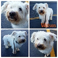 Adopt A Pet :: Watson - Garden City, MI