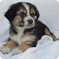 Adopt A Pet :: Bashful (5 lb) - SUSSEX, NJ