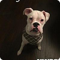 Adopt A Pet :: Magic - Woodinville, WA