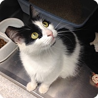 Domestic Mediumhair Cat for adoption in Newport Beach, California - Marie