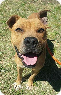 American Bulldog Mix Dog for adoption in Macon, Georgia - Beyla