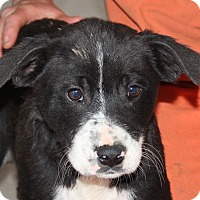 Adopt A Pet :: Jack the PUP - Harmony, Glocester, RI