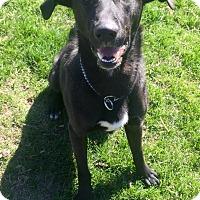 Adopt A Pet :: Duke - Pierrefonds, QC
