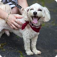 Adopt A Pet :: Samuel (Sam) - Arlington, VA