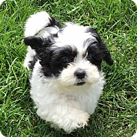 Adopt A Pet :: Veronica - Fairview Heights, IL