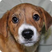 Adopt A Pet :: Pippin - Erwin, TN