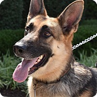 Adopt A Pet :: Ziva - Greensboro, NC
