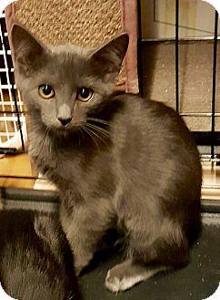 Russian Blue Kitten for adoption in Cerritos, California - Annie
