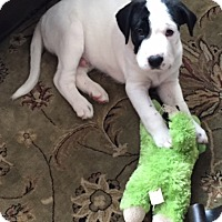 Adopt A Pet :: Moose - McKinney, TX