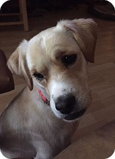 Labrador Retriever/Terrier (Unknown Type, Medium) Mix Dog for adoption in Sugarland, Texas - Wylie