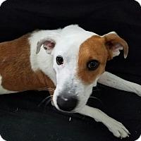 Hound (Unknown Type)/Labrador Retriever Mix Dog for adoption in Ashville, Ohio - General
