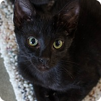 Domestic Shorthair Cat for adoption in Greenwood, South Carolina - Serenity