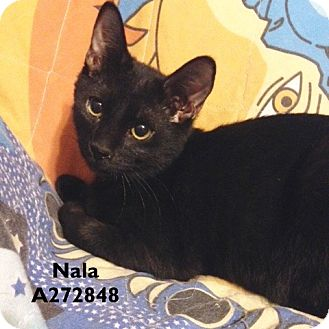 Domestic Mediumhair Cat for adoption in Conroe, Texas - NALA