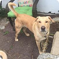 Adopt A Pet :: Harrison - Austin, TX