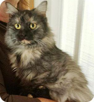 Ragdoll Cat for adoption in Harrisonburg, Virginia - Sally
