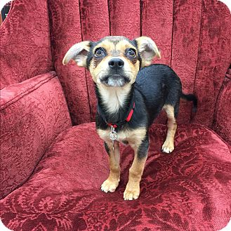 Miniature Pinscher/Chihuahua Mix Puppy for adoption in beverly hills, California - Edward