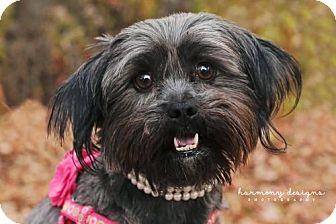 Shih Tzu/Yorkie, Yorkshire Terrier Mix Dog for adoption in Nashville, Tennessee - Annie