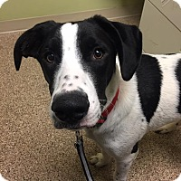 Adopt A Pet :: Andre - ST LOUIS, MO