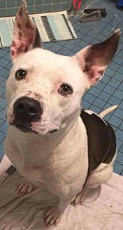 American Pit Bull Terrier Dog for adoption in Tampa, Florida - Bella