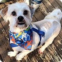 Adopt A Pet :: Shaggy - Manhattan, NY