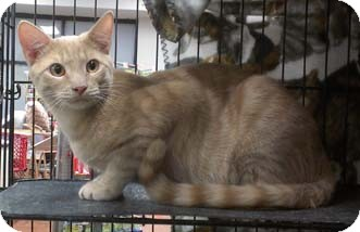 Domestic Shorthair Kitten for adoption in Merrifield, Virginia - Jefferson
