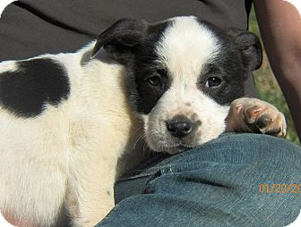 Cookie Adopted Puppy Sussex Nj Boxer Border Collie Mix