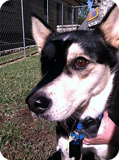 Kai Dog Mix Dog for adoption in Fort Riley, Kansas - Sheik
